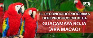 El reconocido programa de reproducción de la guacamaya roja (Ara macao)